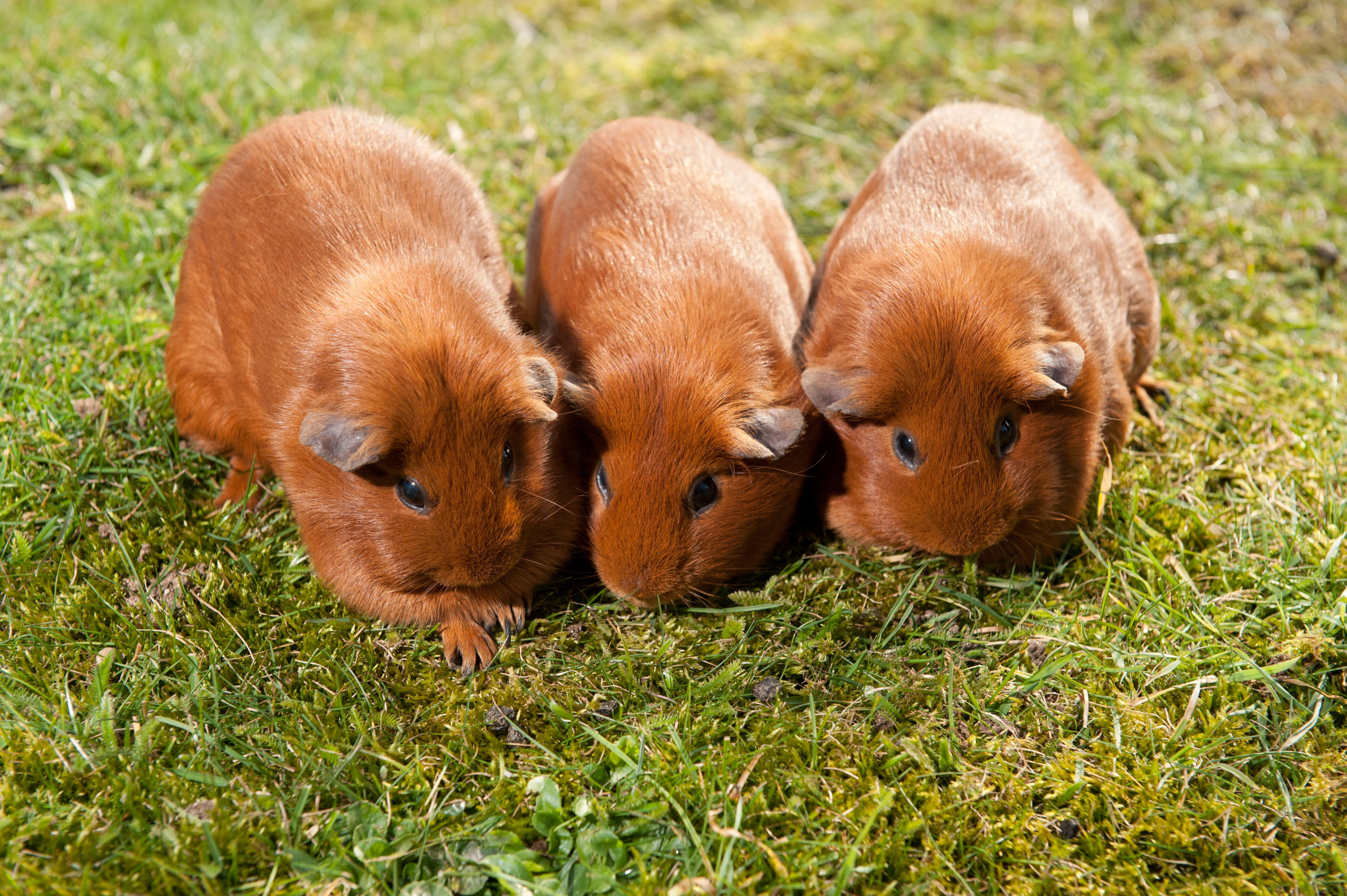 How to keep guinea pigs cool in the heat | Blue Cross