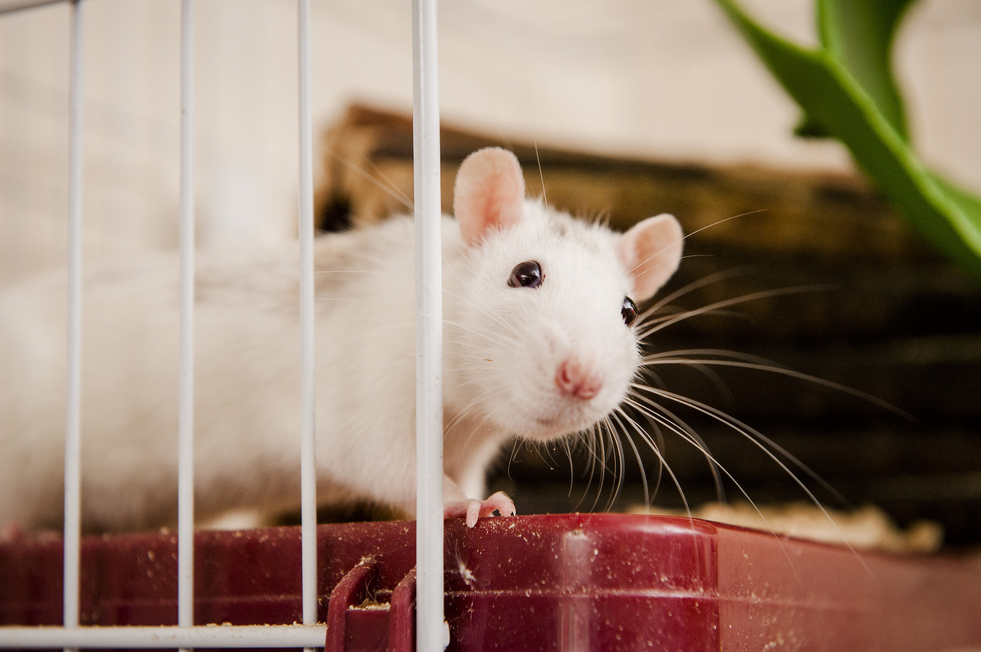 Caring For Your Pet Rat Advice Guidance Blue Cross,Chameleon Petco