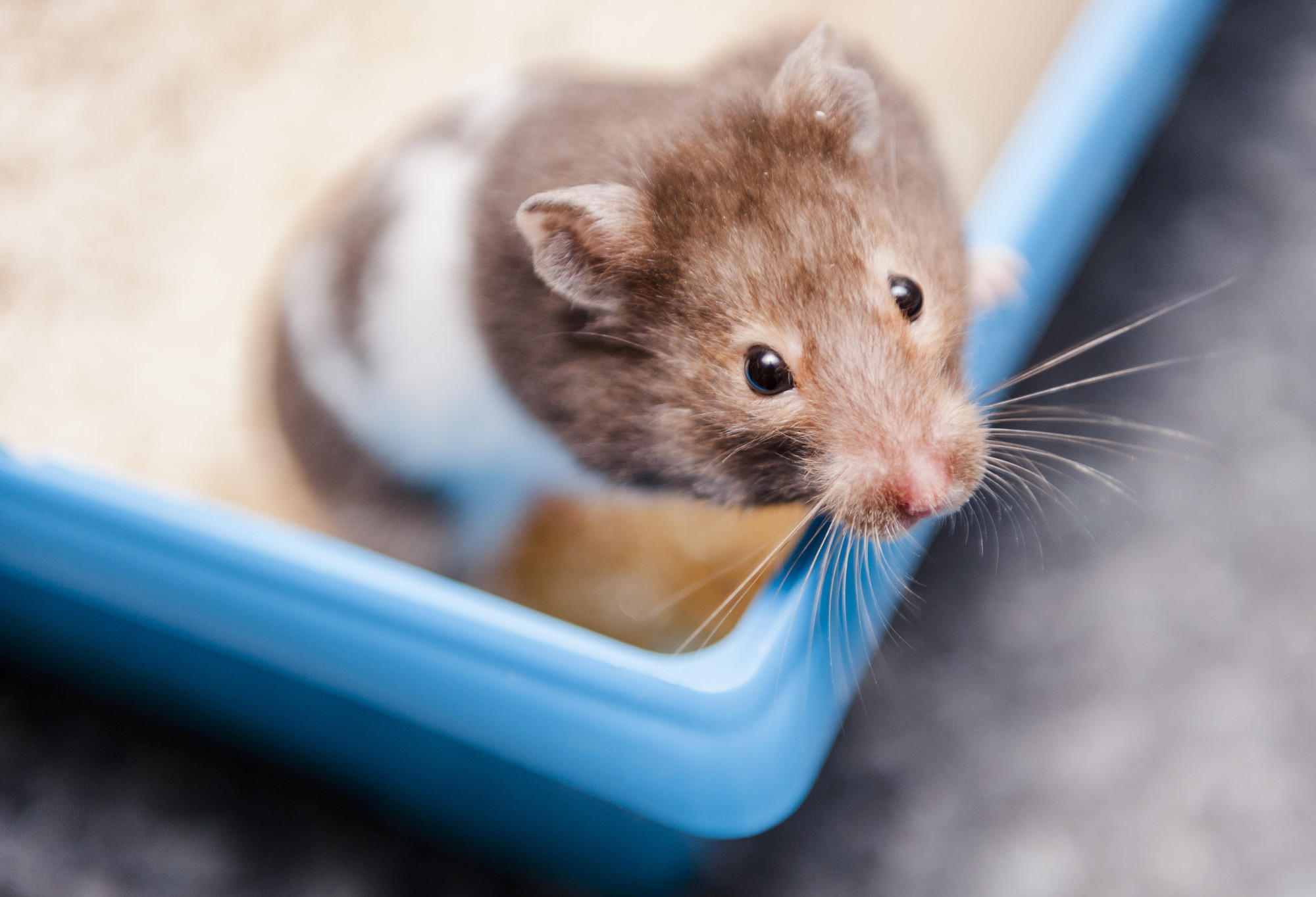 Looking after a Hamster | Syrian hamster advice | Blue Cross