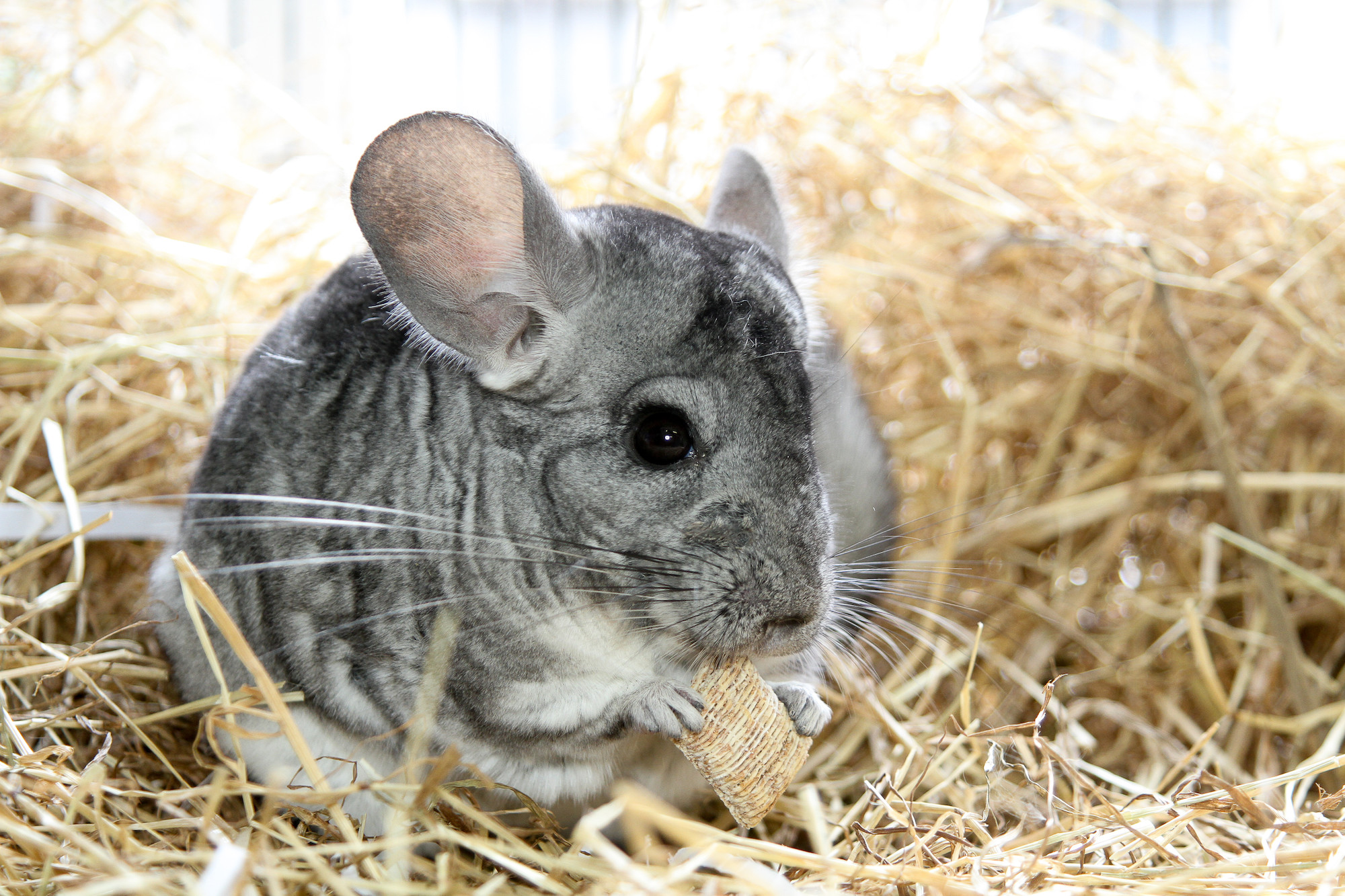 How to care for your pet chinchilla | Blue Cross