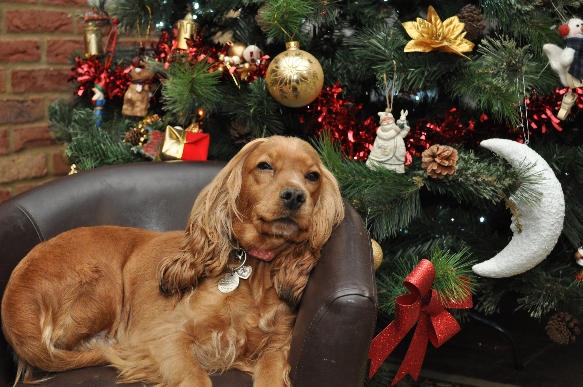 Christmas Dog.Christmas Dangers For Dogs Blue Cross
