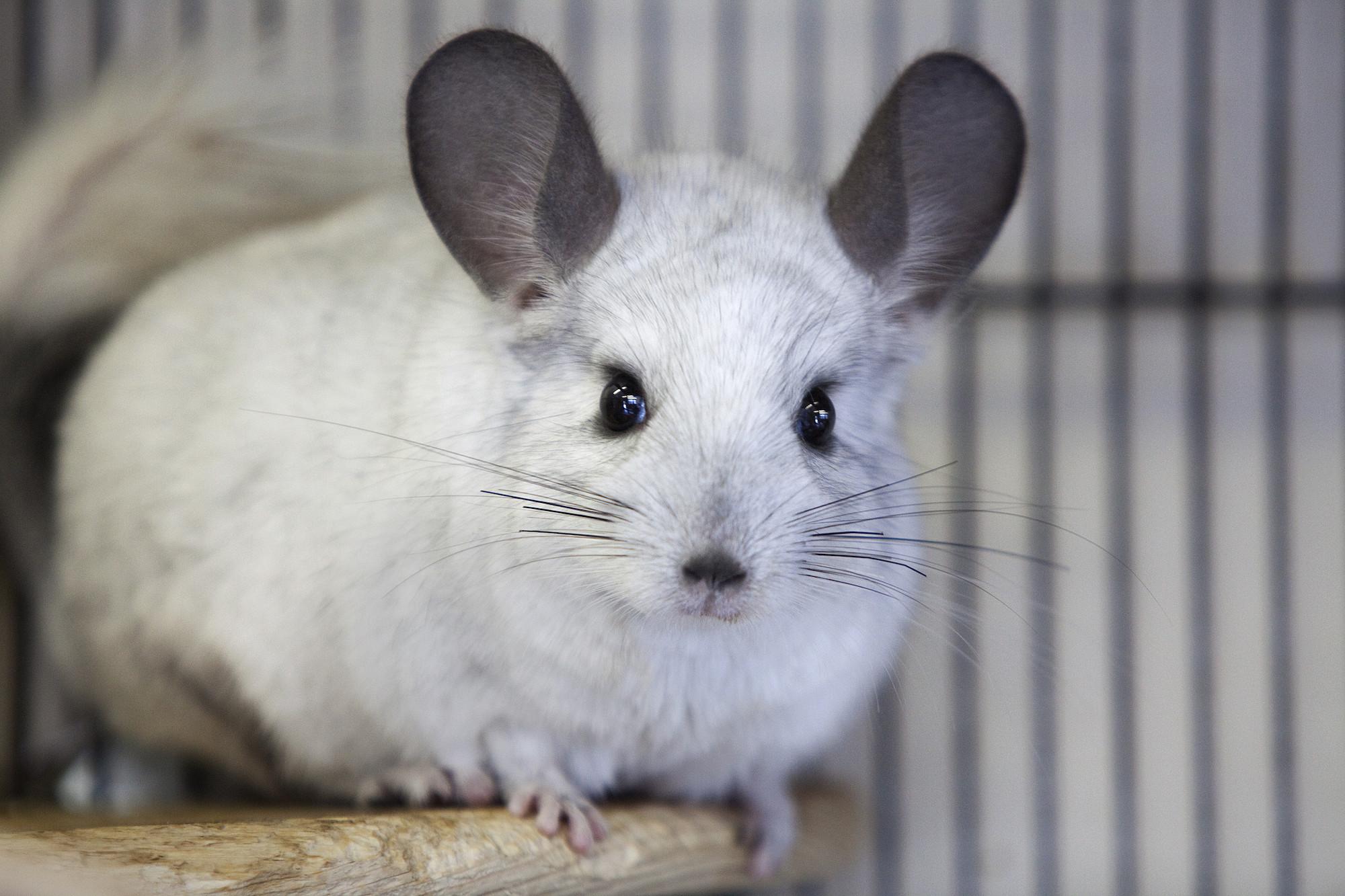 Rat free bizarre tubes