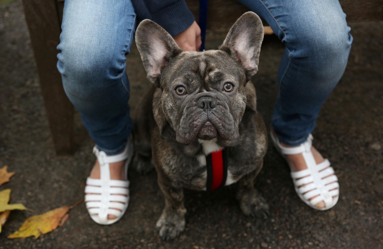 Flat-faced (brachycephalic) dog breeds   Blue Cross