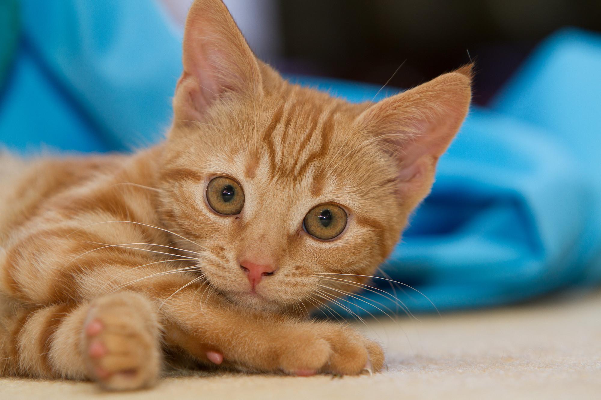 Ear mites in cats | Treatment & symptoms | Blue Cross