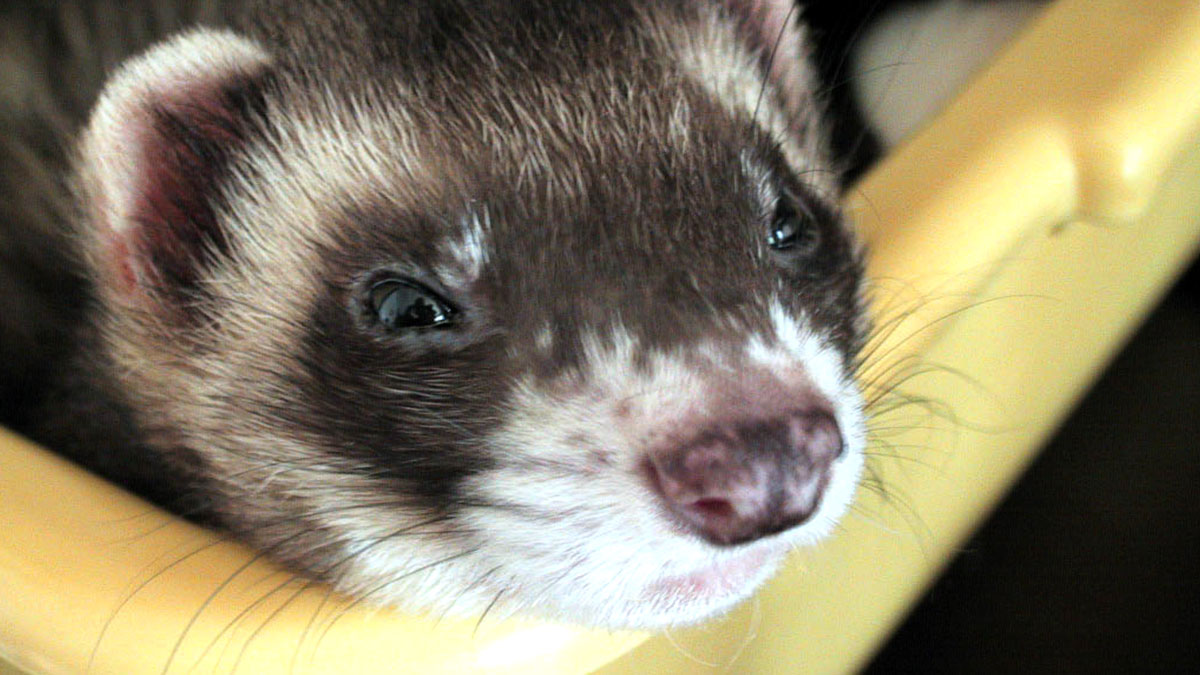 Caring For Your Ferret Training And Feeding Blue Cross