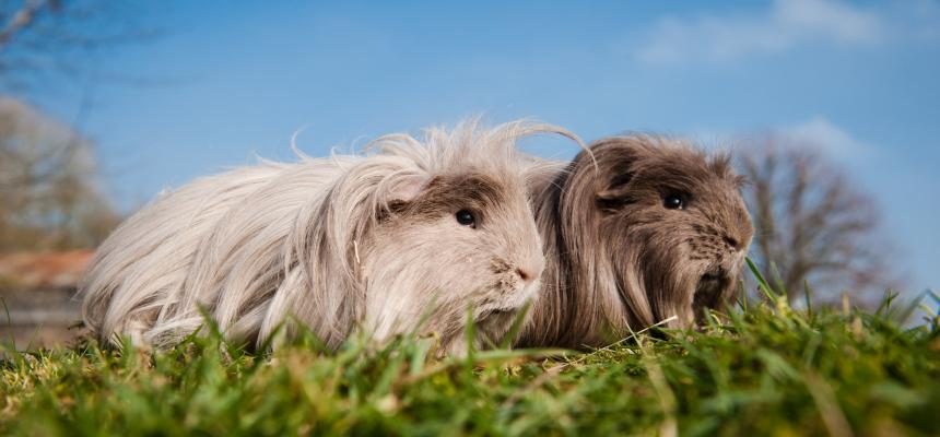 Caring for your guinea pig | Blue Cross