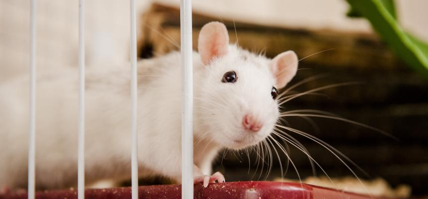 Caring for Your Pet Rat | Advice & Guidance | Blue Cross