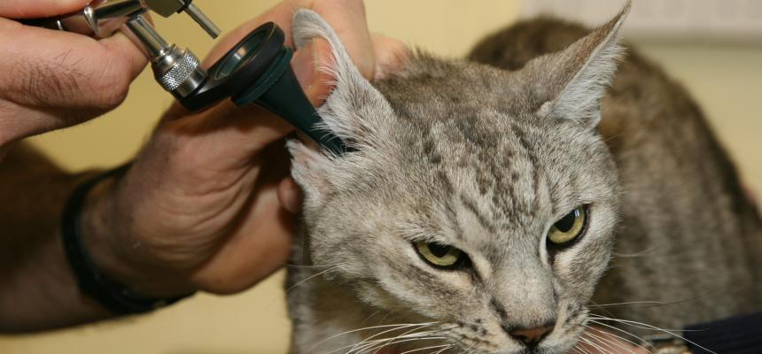 Ear Mites In Cats Treatment Symptoms Blue Cross