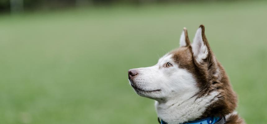 Read This Before Getting A Husky Blue Cross