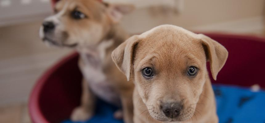 Canine Parvovirus Symptoms And Treatment Blue Cross
