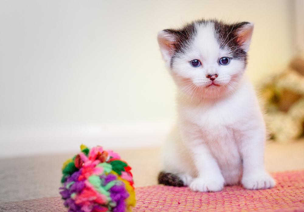 A white and grey kitten