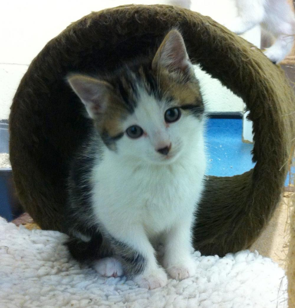 Photo of tabby and white kitten Valtteri sitting comfortably in our cattery