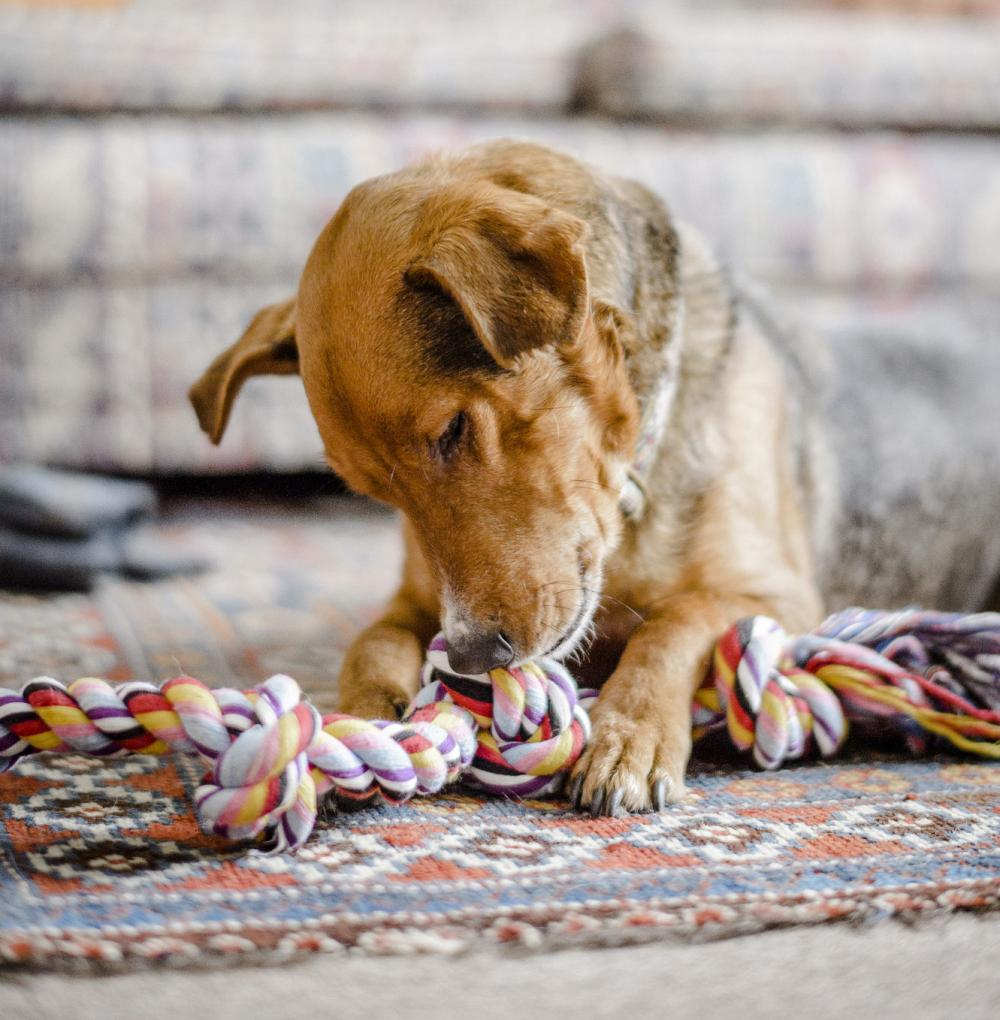 A dog plays with a rope toy
