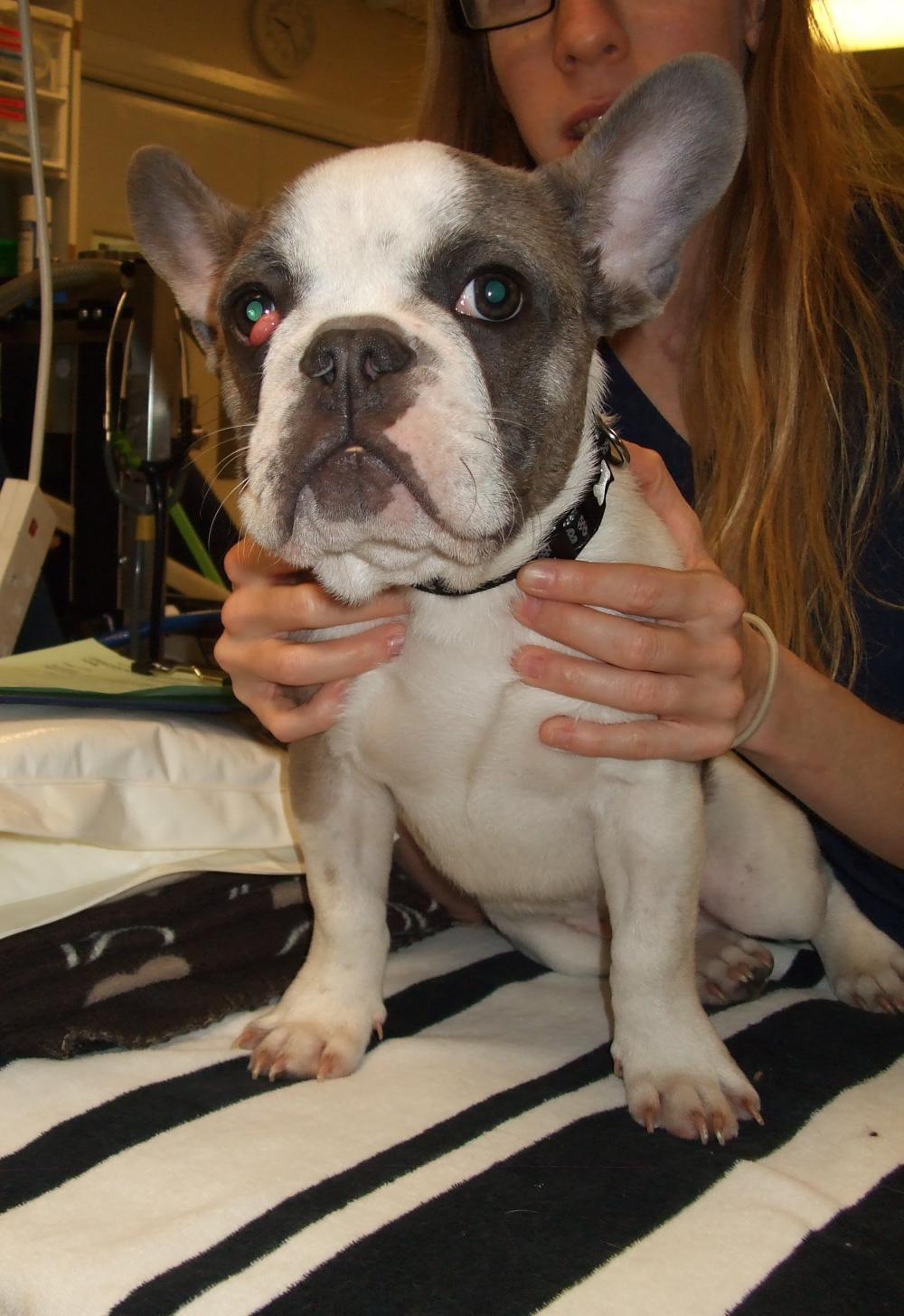 Flat Faced Brachycephalic Dog Breeds Blue Cross