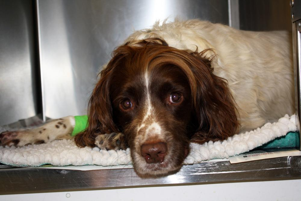 Springer spaniel Jerry looks forlorn in a kennel as he recovers from surgery