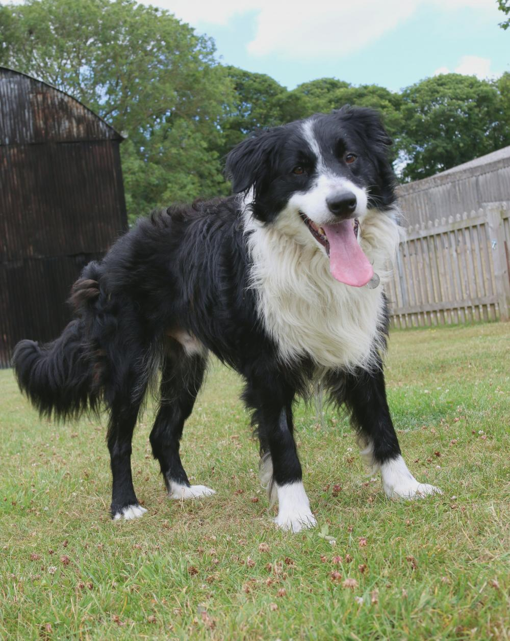 dog myths - collie smiling