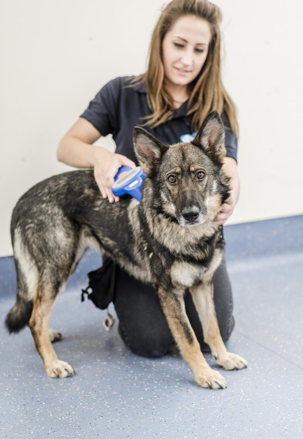 Animal Welfare Assistant Theresa scans a GSD for a microchip