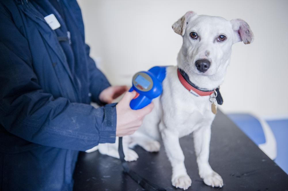 A Jack Russell terrier is scanned for a microchip