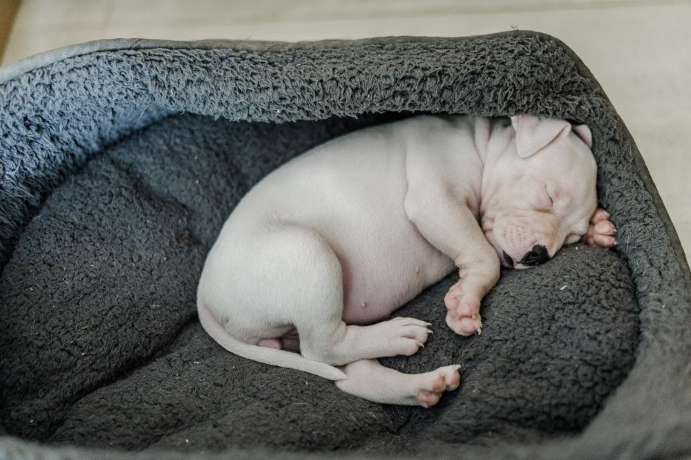 A white staffie cross puppy snoozes away in her comfy bed
