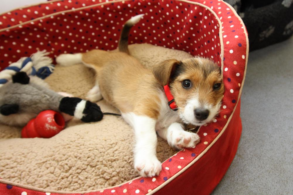 A terrier cross puppy snuggles up with toys in her bed