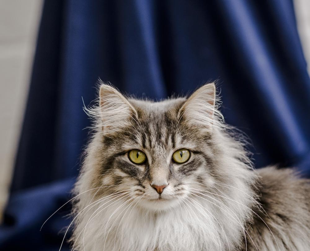 Cysis In Cats Feline Idiopathic