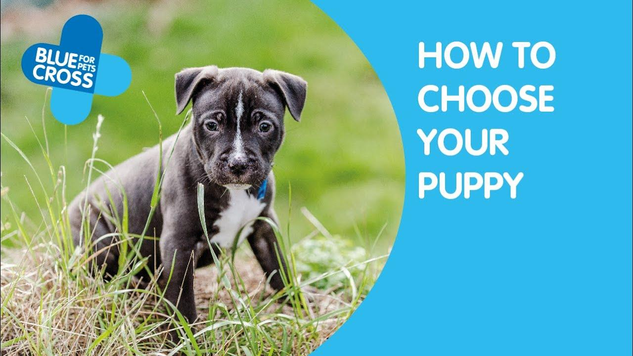 Buying A Puppy How To Buy A Puppy Responsibly Blue Cross