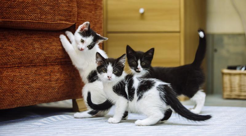 Three black and white kittens play. One has their paws up on a sofa and the others look towards the camera.