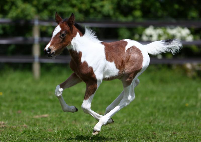 a brown and white coloured filly foal skips around a lush green field