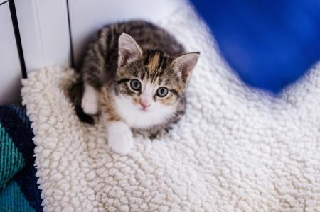 Tabby and white kitten Agnes lies on comfy vet bedding and looks upwards towards the camera
