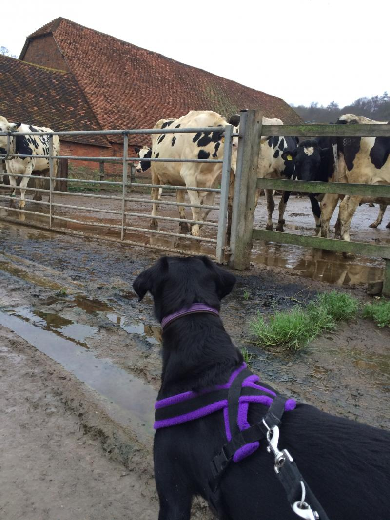 A dog on a lead looks interested in cattle nearby