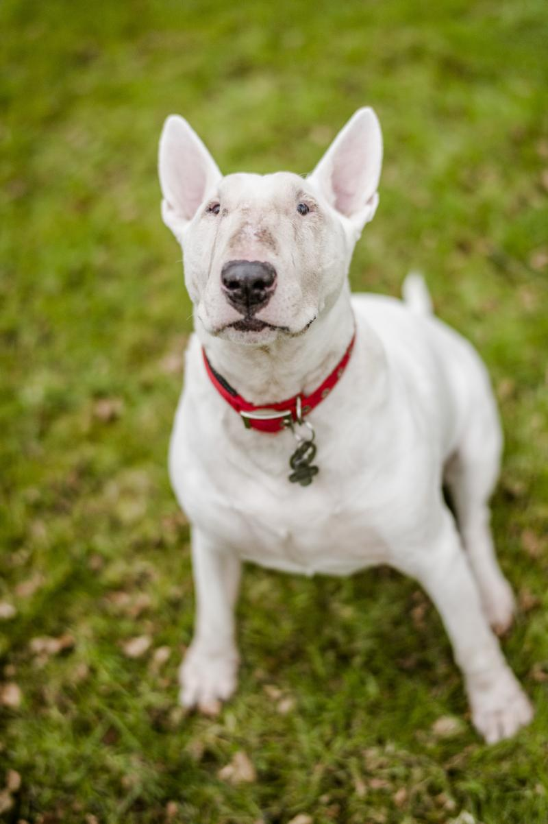 White English bull terrier in a garden