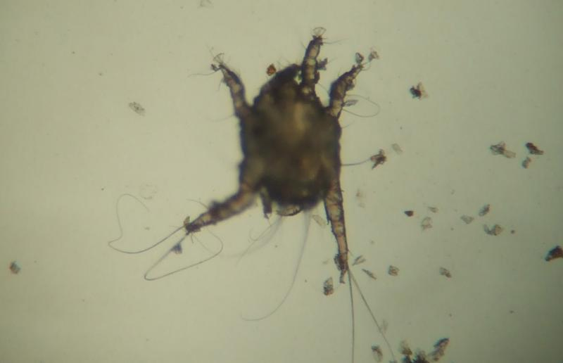 Ear mite under microscope