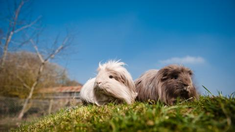 Guinea pig introductions 4