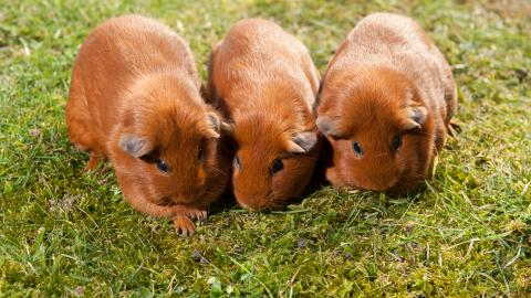 Guinea pig introductions 3