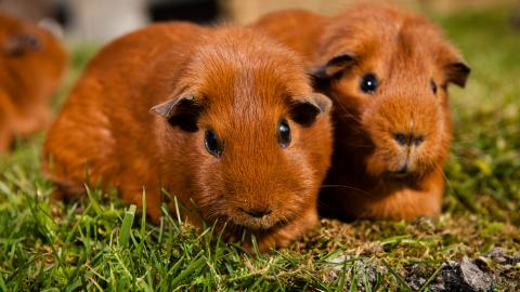 Guinea pig introductions 1
