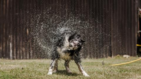 A collie dog shakes of water and the droplets spray around him