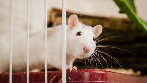 Rat Selma at Burford rehoming centre