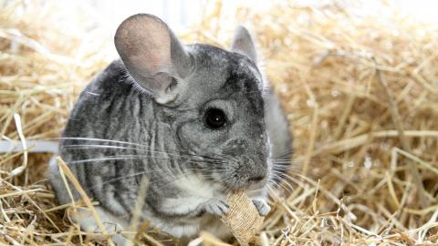Chinchilla Mist at Burford rehoming centre