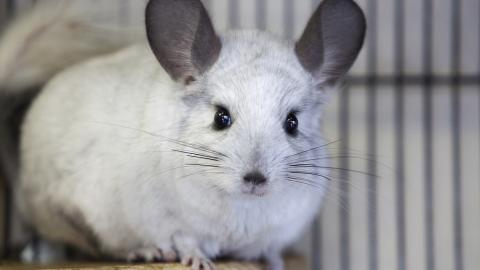 Chinchilla Hoop from Burford rehoming centre