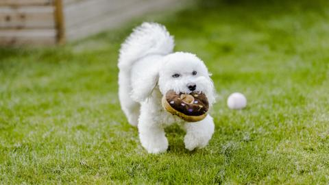 A white fluffy dog with a toy doughnut
