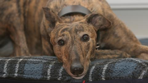 Lady, the brindled greyhound adopted by Jane Williamson