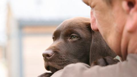 Dave Thomas holding ten-week-old chocolate brown labrador Marley