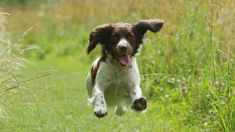 Selina Williams's English springer spaniels Lulu