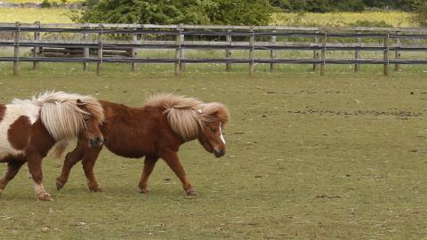 Two Shetland ponies wander around a paddock together