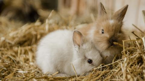 A white baby rabbit snuggles up to a baby brown rabbit on a bed of soft hay
