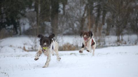 Snow walk with 2 Springers