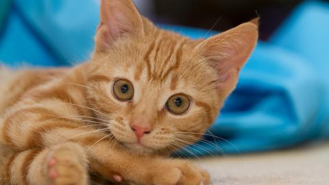 Ear Mites In Cats Treatment Amp Symptoms Blue Cross