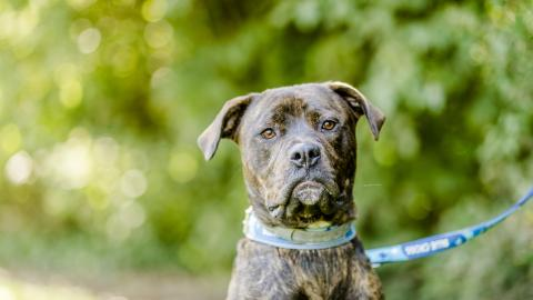 cushings - mastiff