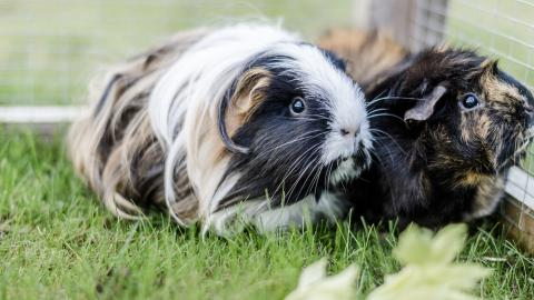Two guinea pigs in their outdoor run