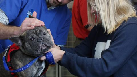 a French bulldog is examined